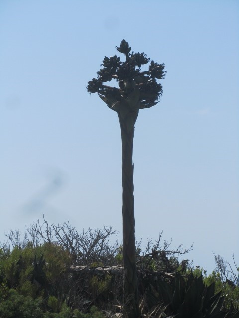 Leaving Cabrillo National monument, we find a giant asparagus going to flower.