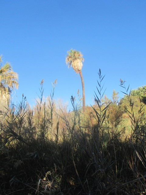 The shrubs here are interesting grasses, sage and palms.