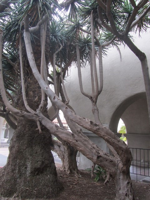 We arrive at Balboa park, and find this narly tree. (The park is full of little museums, art shops,over priced food, and gardens.)