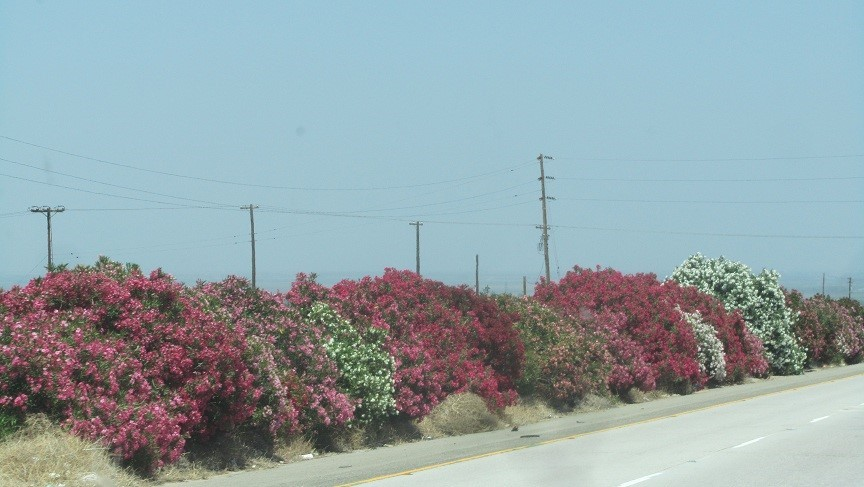 The vegetation along Hwy 99 is nice. Highway 99 does not try to shatter our teeth like I-5. The road for us is just as fast since California limits us to 55. No traffic lights from Bakersfield to just south of Marysville.