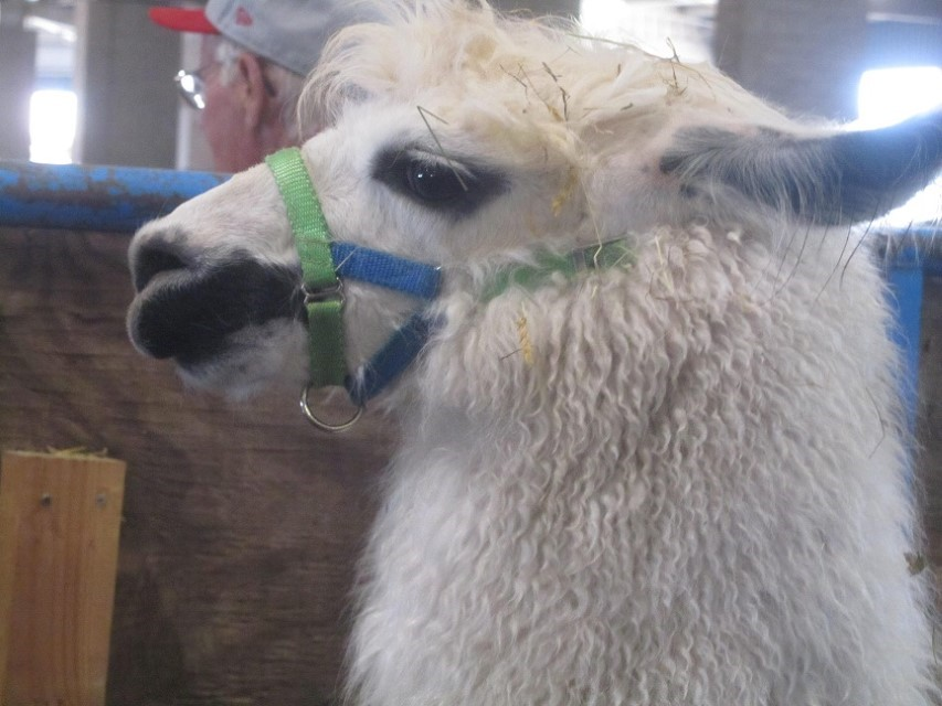 We get up close and personal with this llama. It is one bad llama, and is in jail because he bites! If you still bite, this is an object lesson, if you bite, you go to jail.