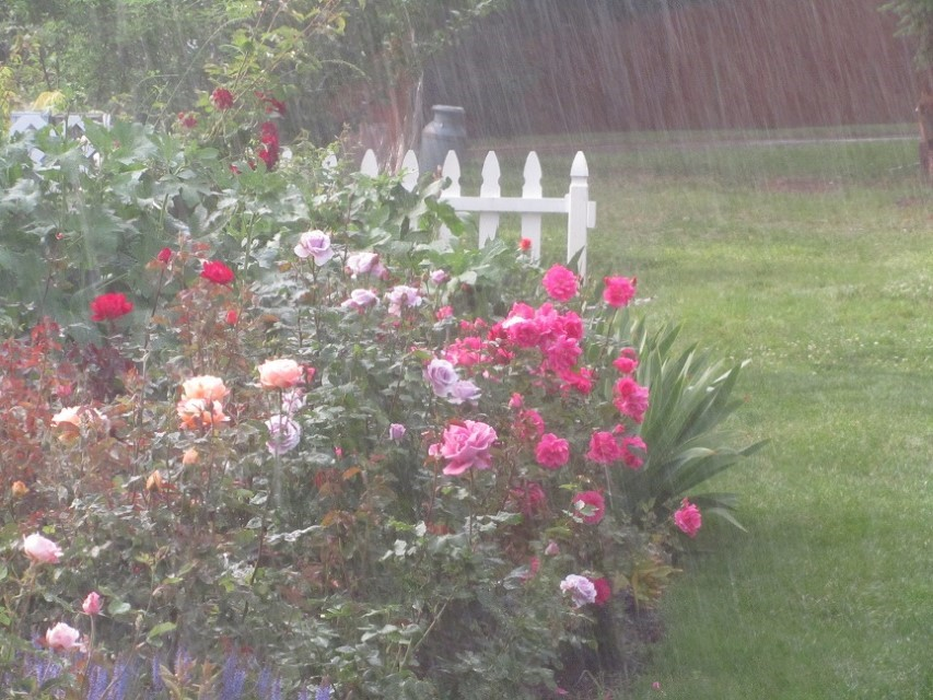 Clouds let go and flood the land with torrents of rain, knocking the pedals off Moms roses.