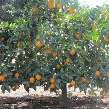 11/18/2013 – California Citrus State Historic Park and Riverside History